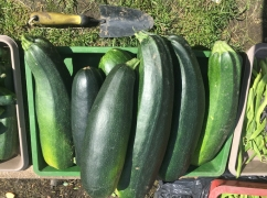Massive marrows from Plot 5
