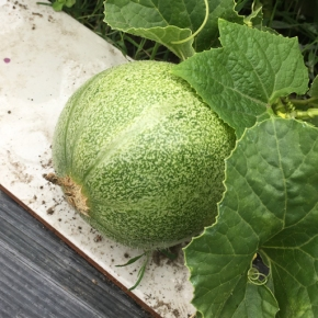 Melons-in-waiting!