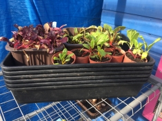 Chard and very stressed beetroot seedlings...