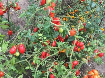 San Marzano 2 tomatoes, 2016
