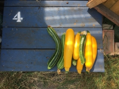 courgette 1