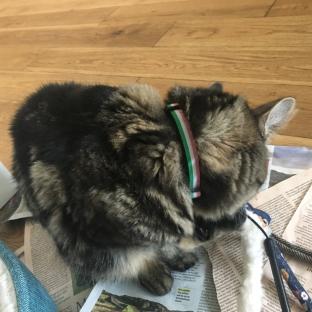 Zebbers in her Republic of Newfoundland collar